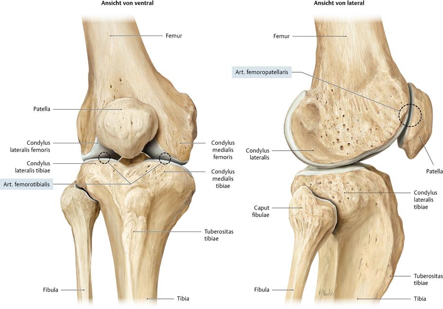 Charmant Knochen Anatomie Des Knies Galerie - Menschliche Anatomie ...
